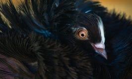 Retrato do close-up de um pombo de Jacobin imagem de stock royalty free