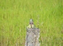 Retrato do close up de uma iguana verde Fotografia de Stock