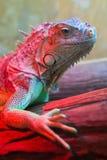 Retrato do close up de uma iguana verde (iguana da iguana) Imagem de Stock