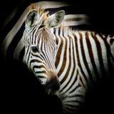 Retrato do close-up de uma zebra do bebê Fotografia de Stock