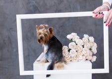 Retrato do close up do cão do yorkshire terrier com as rosas de um ramalhete na moldura para retrato Foto de Stock Royalty Free