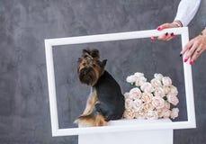 Retrato do close up do cão do yorkshire terrier com as rosas de um ramalhete na moldura para retrato Foto de Stock