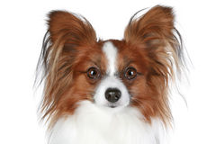 Retrato do close-up do cão de Papillon Imagem de Stock Royalty Free
