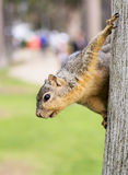 Retrato do close-up do esquilo Imagens de Stock
