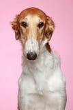 Retrato do Close-up do filhote de cachorro do Borzoi do russo (5 meses) Fotos de Stock