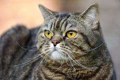Retrato do close up do gato de gato malhado Foto de Stock