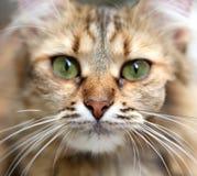 Retrato do close-up do gato de olhos verdes. Fotos de Stock Royalty Free