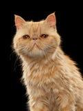 Retrato do close up do gato exótico do shorthair do gengibre no preto Foto de Stock