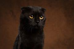 Retrato do close up do gato preto mal-humorado Imagens de Stock Royalty Free