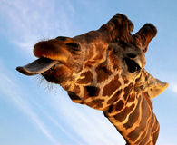 Retrato do close up do Giraffe Foto de Stock