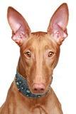 Retrato do close-up do hound do Pharaoh fotos de stock