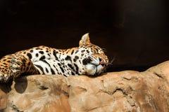 Retrato do close up do jaguar ou do onca do Panthera Imagem de Stock