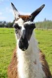 Retrato do close-up do lama comum de Ccara Imagens de Stock Royalty Free