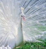 Retrato do close-up do pavão masculino Imagens de Stock
