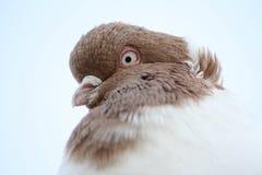 Retrato do close up do pombo Fotografia de Stock Royalty Free