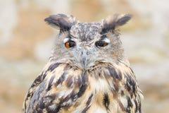 Retrato do close-up do pássaro da coruja Horned ou do bubão Fotografia de Stock