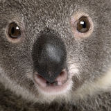 Retrato do Close-up do urso de Koala masculino, Fotos de Stock Royalty Free