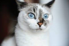 Retrato do close-up do gato branco de olhos azuis com cor assimétrica imagem de stock royalty free