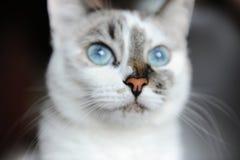 Retrato do close-up do gato branco de olhos azuis com cor assimétrica imagens de stock royalty free