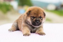 Retrato do close-up do inu velho sério e bonito do shiba da raça do cachorrinho de duas semanas que encontra-se na tabela fotografia de stock