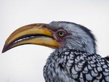 Retrato do close up do pássaro Amarelo-faturado do sul colorido bonito do Hornbill com bico longo, Botswana, África Fotos de Stock Royalty Free