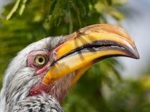 Retrato do close up do pássaro Amarelo-faturado do sul colorido bonito do Hornbill com bico longo, Botswana, África Foto de Stock