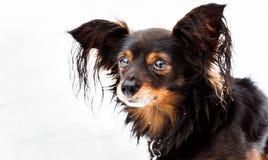 Retrato do close up do terrier de brinquedo no fundo branco Fotos de Stock Royalty Free