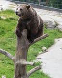 Retrato do close up do urso marrom adulto enorme que escala no tronco de ?rvore Beringianus dos arctos do Ursus Urso de Kamchatka fotografia de stock royalty free