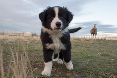Retrato do cão de cachorrinho de border collie que olha o Imagens de Stock Royalty Free