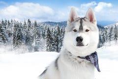 Retrato do cão de puxar trenós Siberian Fotos de Stock Royalty Free