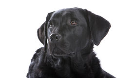 Retrato do cão preto de Labrador Imagem de Stock Royalty Free