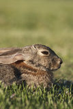 Retrato do coelho de coelho Fotografia de Stock