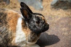 Retrato do coelho doméstico fumarento-marrom-cinzento do pigmeu fotos de stock royalty free