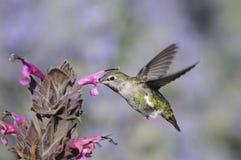 Retrato do colibri Imagem de Stock