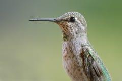Retrato do colibri Fotografia de Stock Royalty Free