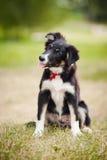 Retrato do collie de beira do filhote de cachorro Imagens de Stock