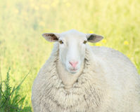 Retrato do cordeiro com nariz cor-de-rosa Imagens de Stock Royalty Free