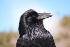 Retrato do corvo Fotografia de Stock