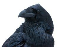 Retrato do corvo Imagens de Stock