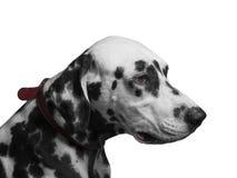 Retrato do Dalmatian preto e branco da raça do cão Fotografia de Stock Royalty Free