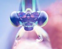 Retrato do Damselfly, olho macro extremo do tiro da libélula de Zygoptera da libélula de Zygoptera em selvagem Feche acima do det foto de stock
