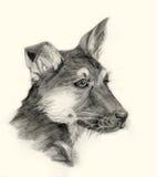 Retrato do desenho do cão de pastor Fotografia de Stock
