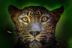 Retrato do detalhe do gato selvagem Leopardo cingalês, kotiya do pardus do Panthera, gato manchado grande que encontra-se na árvo foto de stock royalty free