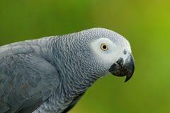 Retrato do detalhe do papagaio cinzento bonito Africano Grey Parrot, erithacus do Psittacus, sentando-se no ramo, África Pássaro  foto de stock royalty free