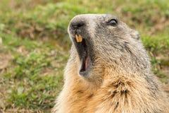 Retrato do dia da marmota do porco à terra Foto de Stock