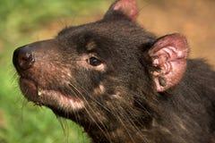 Retrato do diabo tasmaniano fotografia de stock