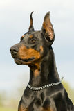 Retrato do dobermann preto Imagens de Stock Royalty Free