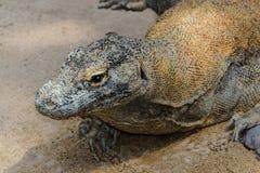 Retrato do dragão de Komodo enorme que descansa na areia em Bali, Indonésia fotos de stock