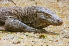 Retrato do dragão de Komodo que descansa na ilha de Rinca em Komodo Nati Imagens de Stock Royalty Free