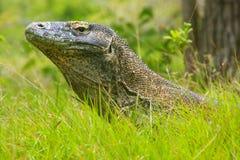 Retrato do dragão de Komodo que encontra-se na grama na ilha de Rinca em Komo Imagens de Stock Royalty Free